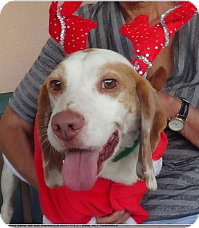 Beagle Dog for adoption in Canoga Park, California - Joey