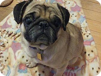 Pug Mix Dog for adoption in Overland Park, Kansas - Pugsley