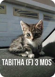 Domestic Mediumhair Kitten for adoption in Glendale, Arizona - TABATHA