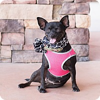 Adopt A Pet :: Whitney - Chandler, AZ