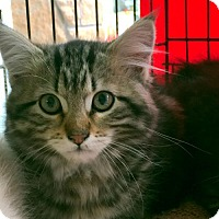 Adopt A Pet :: Three Little Kittens - Longview, WA
