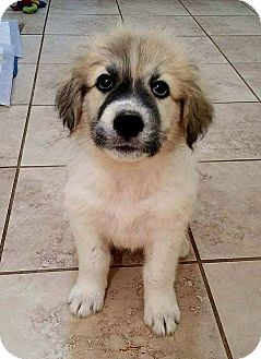 Great Pyrenees/Shepherd (Unknown Type) Mix Puppy for adoption in Claremont, New Hampshire - Waze - Adopted!