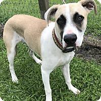Adopt A Pet :: Pippa - Newport, NC