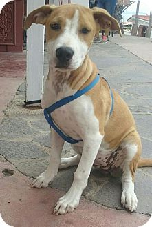 Labrador Retriever Mix Puppy for adoption in San Ysidro, California - Mocha