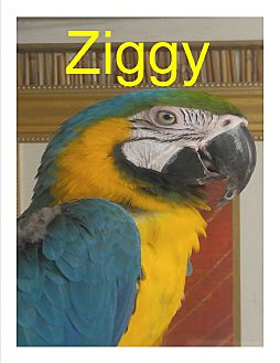 Macaw for adoption in Vancouver, Washington - Ziggy the Sweet Blue & Gold