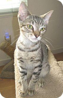 Domestic Shorthair Kitten for adoption in North Highlands, California - Kepler