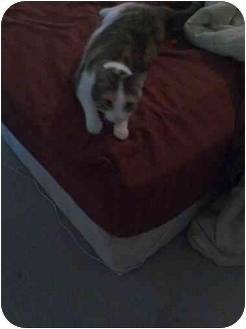 Domestic Shorthair Cat for adoption in Grove City, Ohio - Patches