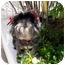 Photo 2 - Lhasa Apso Dog for adoption in Los Angeles, California - RIVA