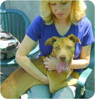 Hound (Unknown Type)/American Staffordshire Terrier Mix Dog for adoption in Sacramento, California - Kasey.Sunshine Pup