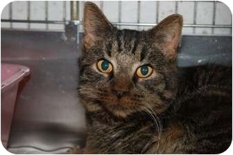 Domestic Shorthair Cat for adoption in Broadway, New Jersey - Dexter