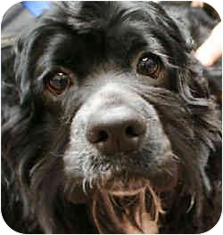 Cocker Spaniel Mix Dog for adoption in Port Washington, New York - Sarge