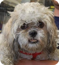 Shih Tzu Mix Dog for adoption in Brooklyn, New York - Pebbles