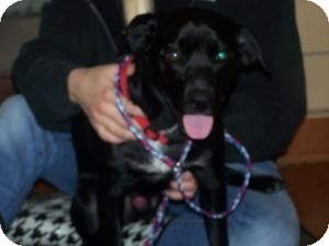 American Staffordshire Terrier Mix Dog for adoption in Sidney, Ohio - Maci