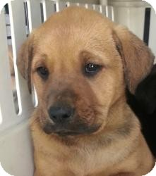 Labrador Retriever/Mastiff Mix Puppy for adoption in Chicago, Illinois - Butch*ADOPTED!*