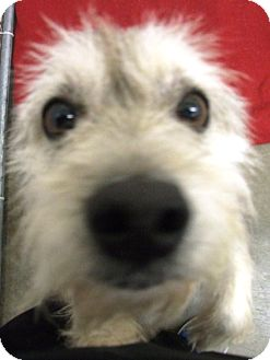 Wirehaired Fox Terrier Mix Dog for adoption in Kalamazoo, Michigan - Andy