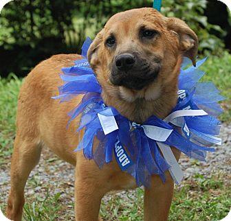 Labrador Retriever/Great Pyrenees Mix Puppy for adoption in Beacon, New York - Jude