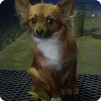 Adopt A Pet :: Bree - Brattleboro, VT