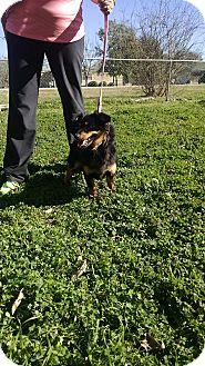 Dachshund Mix Dog for adoption in Seguin, Texas - Willie