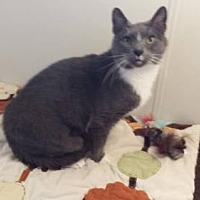 Russian Blue Cat for adoption in Iroquois, Illinois - Micky