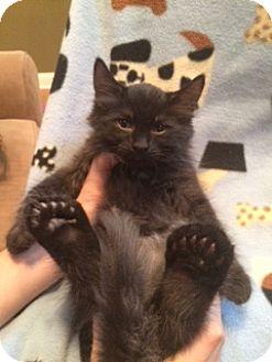 Domestic Mediumhair Kitten for adoption in Marietta, Georgia - Jay Jay