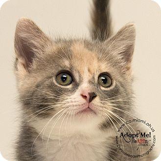 Domestic Shorthair Kitten for adoption in Troy, Ohio - Hilda