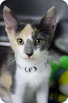 Domestic Shorthair Kitten for adoption in Bradenton, Florida - Peach Bellini