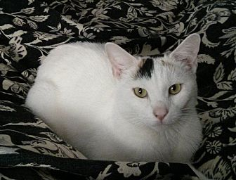 Calico Cat for adoption in New york, New York - ALI