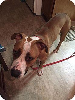 Terrier (Unknown Type, Medium)/Great Dane Mix Dog for adoption in Nesquehoning, Pennsylvania - Attila
