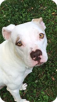 Staffordshire Bull Terrier/Boxer Mix Dog for adoption in Chattanooga, Tennessee - Ivory