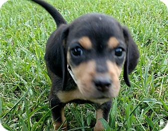 Labrador Retriever/Black and Tan Coonhound Mix Puppy for adoption in North East, Florida - Dublin