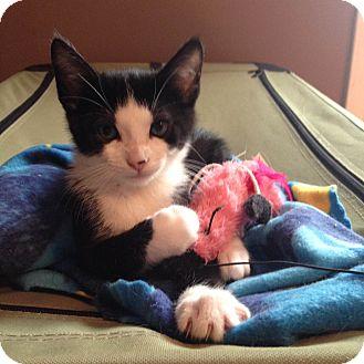 Domestic Shorthair Kitten for adoption in Nashville, Tennessee - Jax