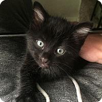 Adopt A Pet :: Vader - Loveland, CO