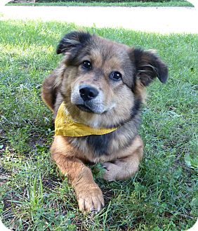 Basset Hound/Australian Shepherd Mix Dog for adoption in Mocksville, North Carolina - Gracie