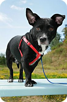 Terrier (Unknown Type, Small) Mix Dog for adoption in Bellingham, Washington - Thor