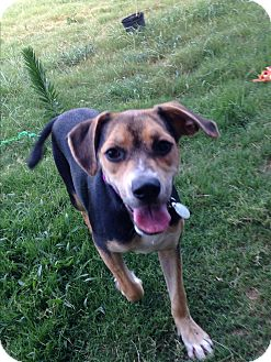 Beagle/Shepherd (Unknown Type) Mix Dog for adoption in Norwich, Connecticut - Zooey
