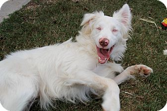 Australian Shepherd Mix Dog for adoption in Nashville, Tennessee - Zonder
