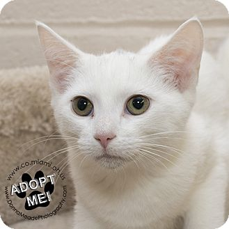 Domestic Shorthair Kitten for adoption in Troy, Ohio - Jessica