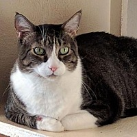 Domestic Shorthair Cat for adoption in Sarasota, Florida - Mikey