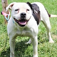 Pit Bull Terrier Mix Dog for adoption in Anderson, Indiana - Piglet