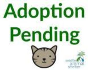 Domestic Shorthair/Domestic Shorthair Mix Cat for adoption in Seattle, Washington - Esther