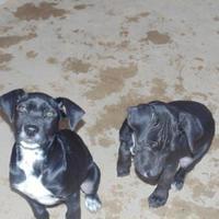 Adopt A Pet :: Bruiser - Las Cruces, NM