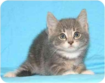 Domestic Shorthair Kitten for adoption in Ladysmith, Wisconsin - Caleb