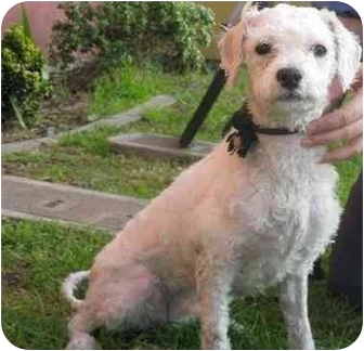 Poodle (Miniature) Mix Dog for adoption in Encino, California - TAILS