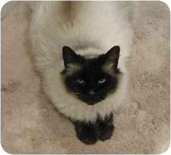 Siamese Cat for adoption in Nanaimo, British Columbia - STUBBY