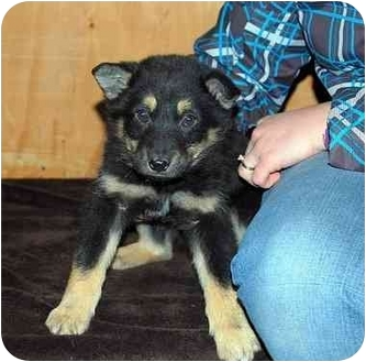 Shepherd (Unknown Type)/Shepherd (Unknown Type) Mix Puppy for adoption in Broomfield, Colorado - Colt