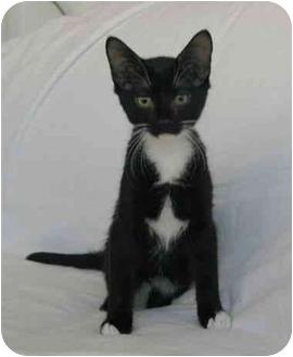 Domestic Shorthair Kitten for adoption in Oakland Park, Florida - Tux