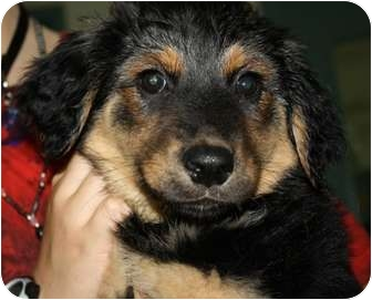 Australian Shepherd/German Shepherd Dog Mix Puppy for adoption in Houghton, Michigan - Clara