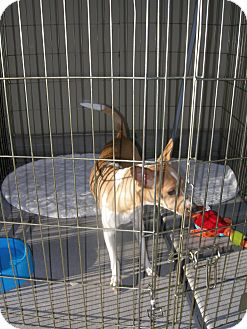 Chihuahua/Basenji Mix Dog for adoption in Las Vegas, Nevada - Bessie