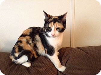 Domestic Shorthair Cat for adoption in Hazard, Kentucky - Beauty