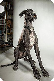 Great Dane Dog for adoption in Virginia Beach, Virginia - Duke